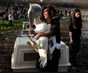 رها کردن یک پلیکان در دامان طبیعت/ یونان/ خبرگزاری فرانسه