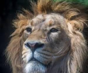 تصاویری از هیرمان، شیر ایران