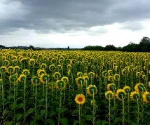 تصویری جالب از گل آفتابگردانی که قهر کرده