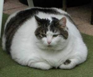 گربه چاقالو
