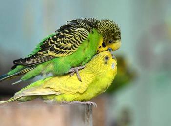 چگونه متوجه شویم مرغ عشق نر و ماده جفت شدهاند؟