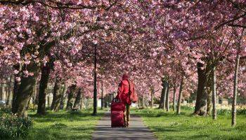 شکوفههای گیلاس در یورکشایر بریتانیا