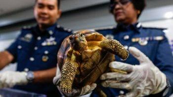 کشف محموله قاچاق بچه لاکپشت از سوی پلیس مالزی