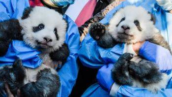 2 توله خرس پاندا تازه متولد شده باغ وحش برلین