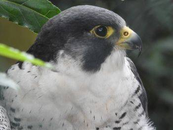 شاهین معمولی یا بَحری، سریع ترین پرنده جهان