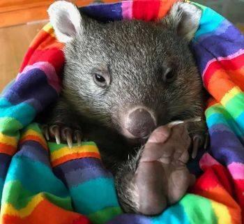 وضعیت حیوانات نجات یافته از آتش در استرالیا