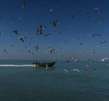پرندگان دریایی در آسمان سواحل بوشهر