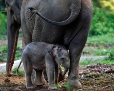 بچه فیل نوزاد در کنار مادر در استان آچه اندونزی